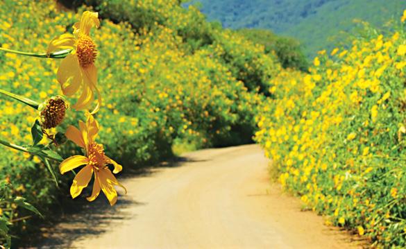 da lat Vietnam - wild sunflowers