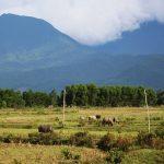 buffalo on rice field