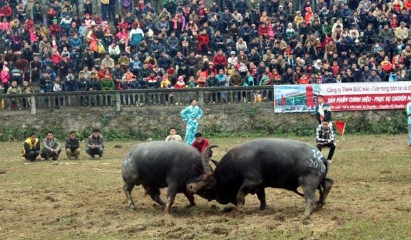 Buffalo Fighting Festival in Ha Giang