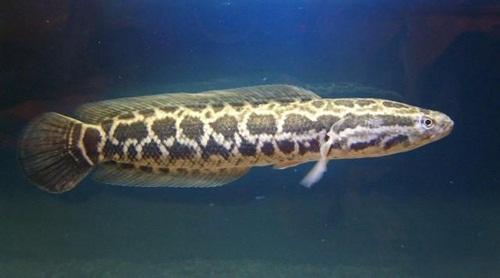 Ca Trau: Snakehead fish