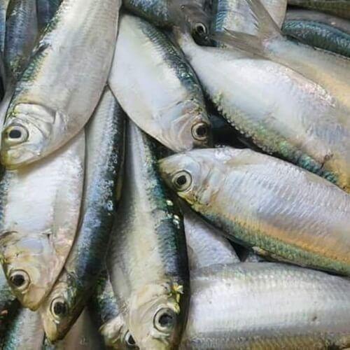 Vietnamese fish of Herring