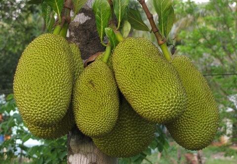 Vietnamese jackfruit