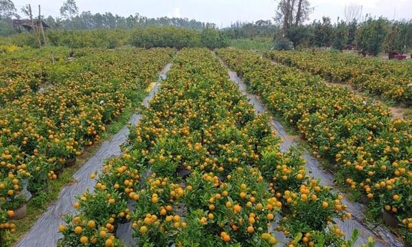 cam ha kumquat village