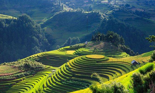 mu cang chai rice field