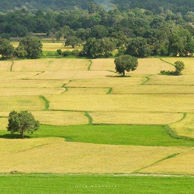Ta Pa Rice Field